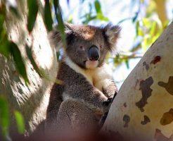 コアラ 木 理由