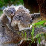 コアラの袋の名前は?