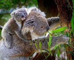 コアラ 袋 名前