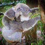 コアラと日本の歴史