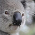 コアラの鼻が大きい理由とその感触は?