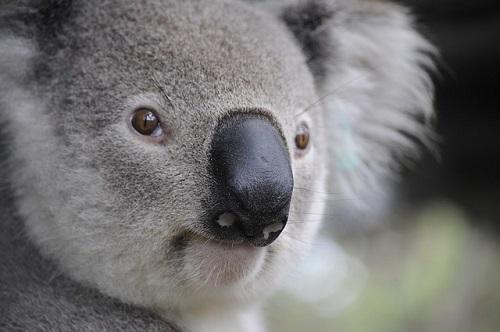 コアラ 鼻 大きい 感触