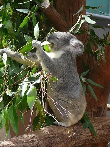 コアラ 名前 由来