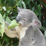 コアラはなぜユーカリを消化できるのか?