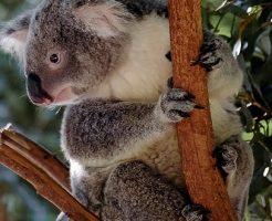 コアラ 爪 鋭い