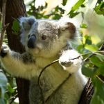オーストラリアでのコアラの抱っこに対する値段は妥当だ