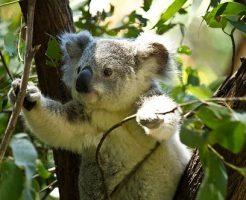 コアラ 抱っこ オーストラリア 値段