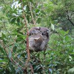コアラは臭いのか