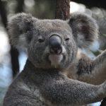 コアラの動物占いでの相性がいい相手は、虎?