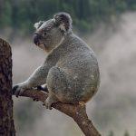 コアラはユーカリ以外では飼育は難しい