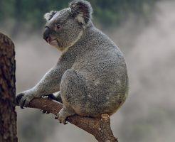 コアラ ユーカリ以外 飼育