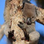 コアラの赤ちゃんはどんな餌を食べる?
