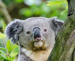 コアラ 袋 オス